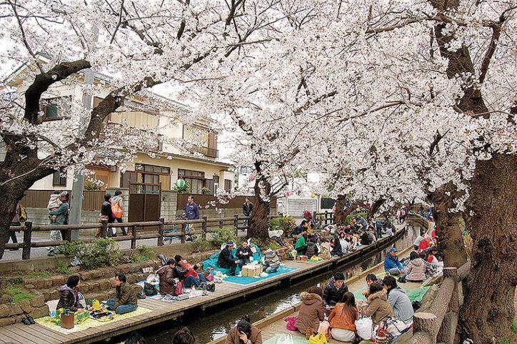 川崎・二ヶ領用水沿いで4月1日「宿河原 桜まつり」全長2㎞にわたる桜並木