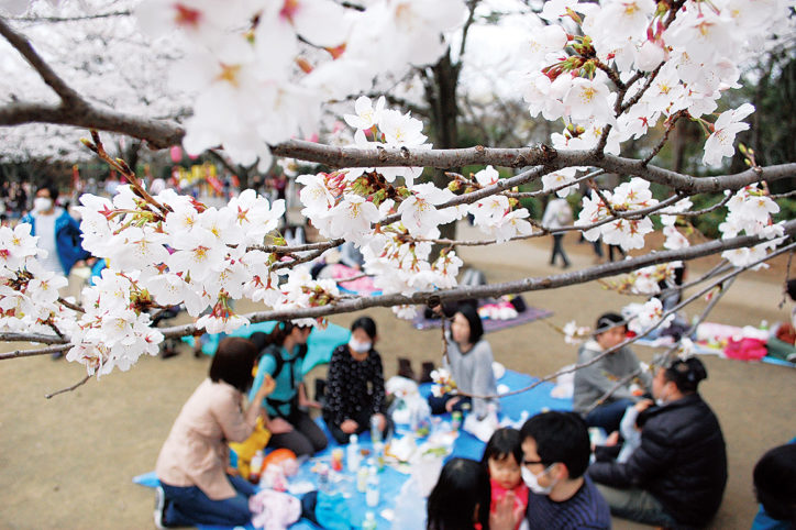 ちょうど見頃?3月31日「第28回綱島公園桜まつり」空くじなし抽選会も(横浜市港北区)