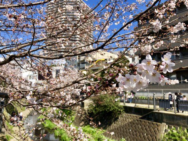 【横浜の桜名所・桜まつり2018】お花見できる公園や夜桜スポットなど桜情報満載