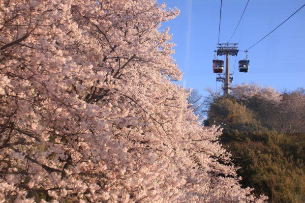 桜の中を疾走、超高速でお花見&ゴンドラから桜一望@よみうりランド