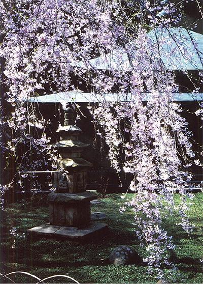 鎌倉の桜の魅力伝えたい…写真展ほかイベント続々!