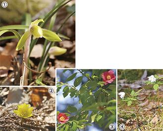 荻野運動公園「野草園」シュンラン、フクジュソウ咲いてます