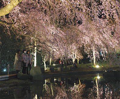 真鶴・荒井城址公園で「しだれ桜の宴」3月21日は伊勢海老汁の振る舞いも