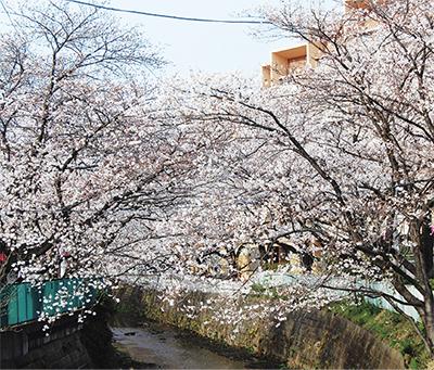 小田急沿線の桜の名所「麻生川桜まつり」夜桜ライトアップも