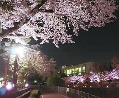 いたち川桜ライトアップ2018(栄区役所周辺)【3月23日~4月13日】