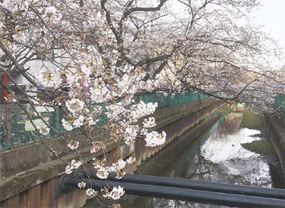 花の名所100選、渋川沿いの桜並木会場に初イベント『モトスミ桜ウォークフェスタ』
