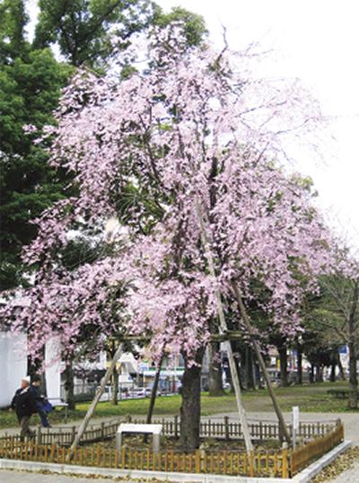 「歌丸桜フェスティバル」落語やアカペラ、キッチンカーの出店も@横浜橋通商店街
