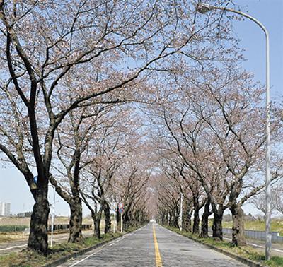 【海軍道路】桜が織りなすアーチは必見!「海軍広場」は4月8日まで開放中