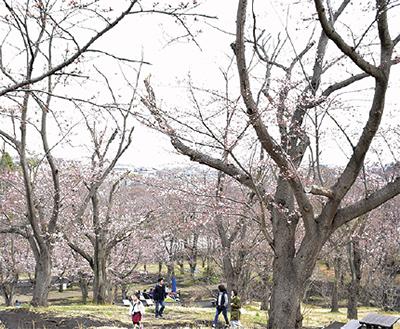 こども自然公園に4月7日限定「さくら茶屋」おだんごやコーヒー販売も