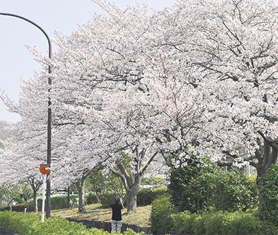 伊勢原市総合運動公園で「第4回桜フェスタ」ライトアップは4月3日まで