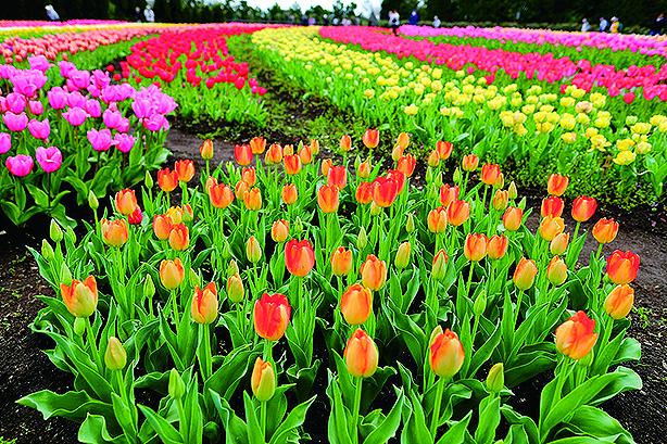 春風に染まる7万本「チューリップフェア」参加無料!@県立秦野戸川公園