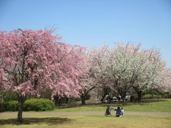 約500本の桜が楽しめる「保土ケ谷公園」