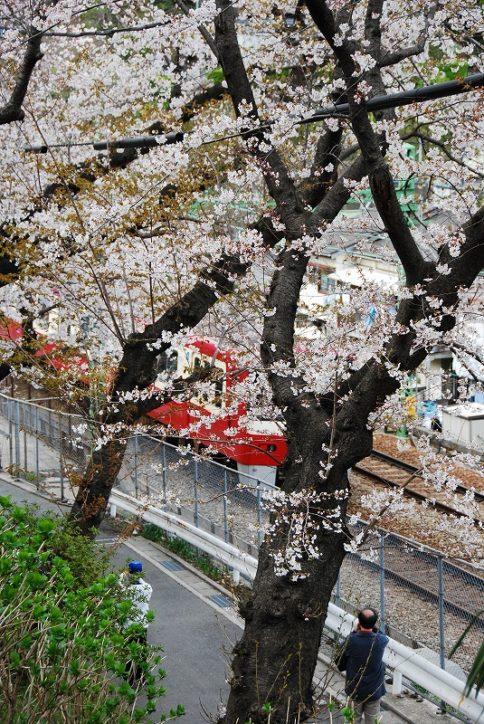 京急田浦駅ホームから臨める横須賀の桜スポット「船越南郷公園」3月25日桜まつりイベント