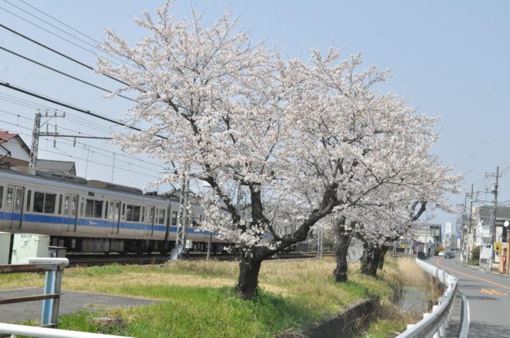 小田急線「螢田駅」から大雄山線「五百羅漢駅」の桜の道を歩く60分コース