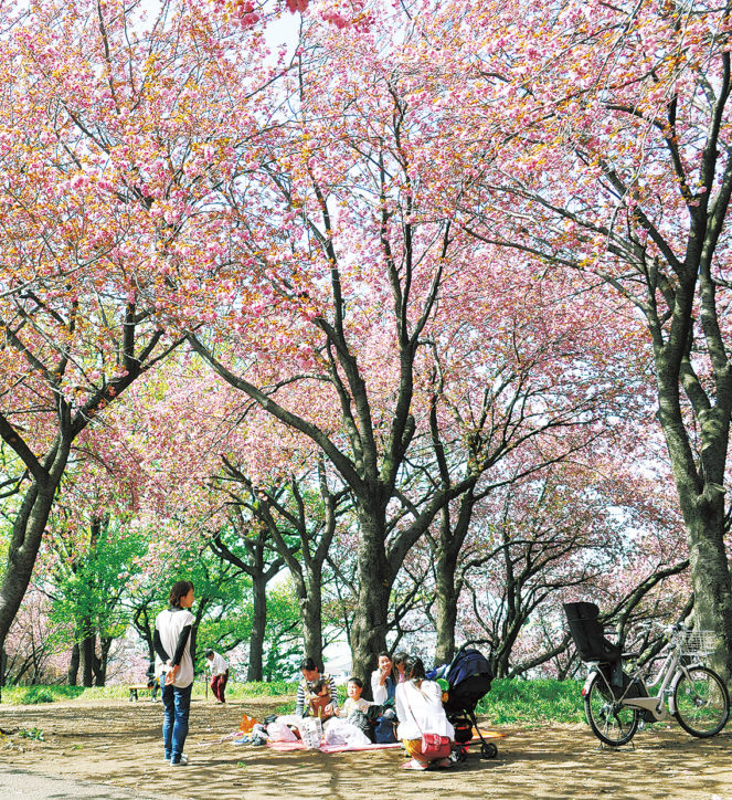 横浜の八重桜名所「菊名桜山公園」4月15日「カーボン山桜まつり」で遅咲き桜楽しもう