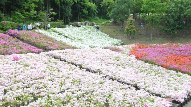 【プロカメラマンが初心者向け写真教室】52,000本のツツジが咲く公園で女性モデルを撮影