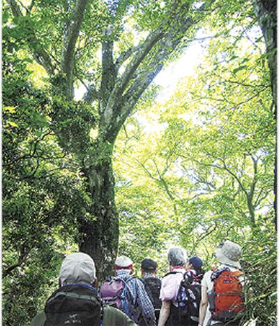 新緑のブナ林を満喫する「箱根三国山ハイキング」