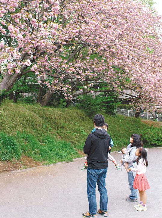 横浜の八重桜名所「菊名桜山公園」~ 4月21日は「カーボン山桜まつり」で遅咲き桜楽しもう