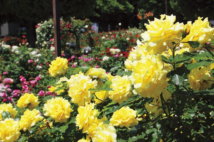 綾瀬・光綾公園のバラ28種900本が見頃ピークに 緑化フェアではバラの育て方教室も