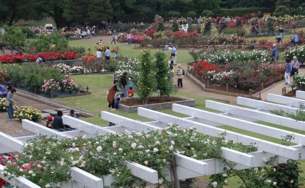 香り立つ春のバラを見に行こう!川崎・生田緑地ばら苑一般開放【5月10日~27日・無料】