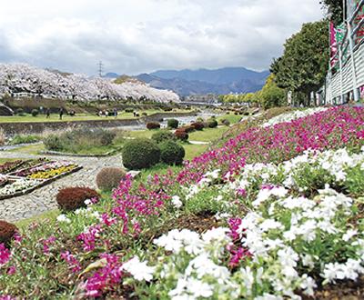 水無川河川敷「はだの芝桜まつり」