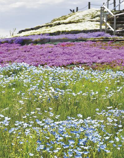 美しい花の絨毯「芝桜」×ネモフィラ見頃に@相模三川公園