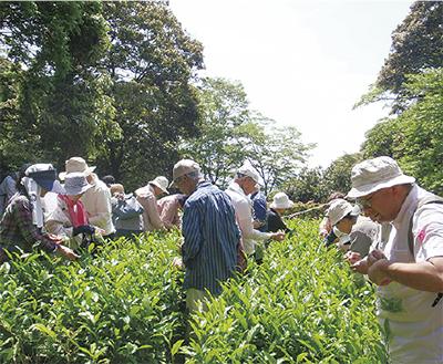 観音崎公園で「茶摘み体験」【参加者募集・定員30人】