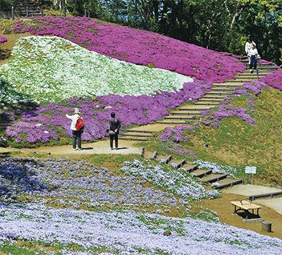 吾妻山公園のシバザクラが見ごろ「白富士」まもなく完成