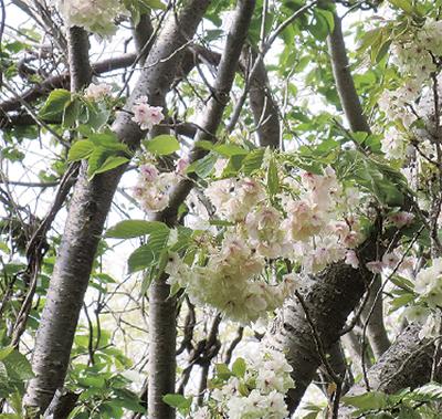 遅咲きの「御衣黄桜」お花見&お茶会【先着80人】