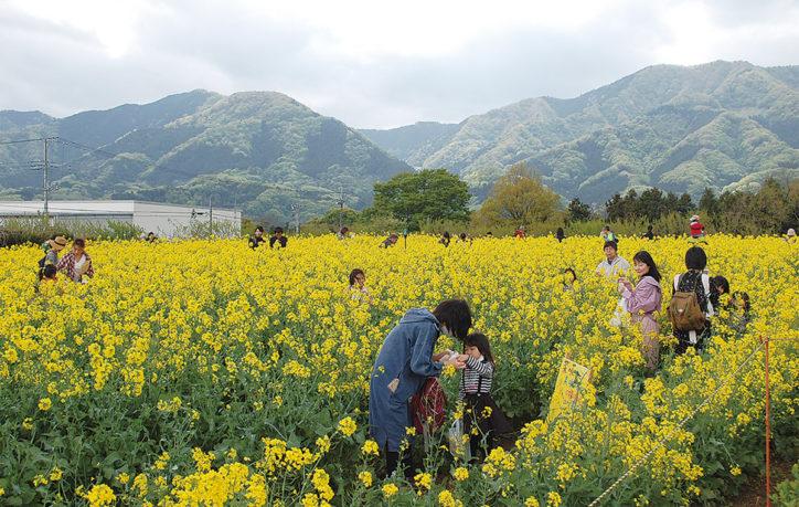 「愛川町第10回菜の花まつり」摘み取り体験や無農薬野菜、天然酵母パンも!