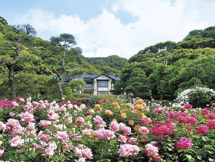 鎌倉文学館で秋のバラが見ごろ「苗木限定販売」と「庭園特設カフェ」