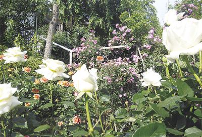 バラ咲く季節に「風の庭オープンガーデン」特製スイーツも