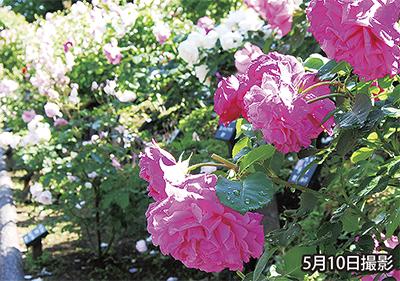 バラが見頃の荏子田太陽公園で「太陽ローズフェスティバル&フリーマーケット」