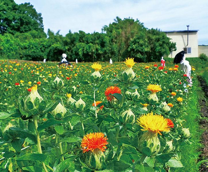 花摘みや紅花染め体験できる「紅花祭り」@町田市大賀藕絲館