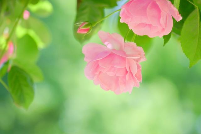 平塚市内のバラ巡り&北原白秋の足跡たどるウォーキングイベント【約10㎞・申込不要】