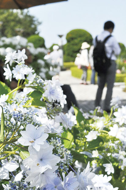 「第19回八景島あじさい祭」見所めぐるスタンプラリー&夜は竹灯篭演出も@横浜・八景島シーパラダイス