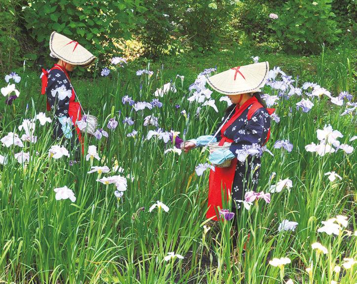 約10,000株のハナショウブと花摘み娘が共演@二宮町せせらぎ公園