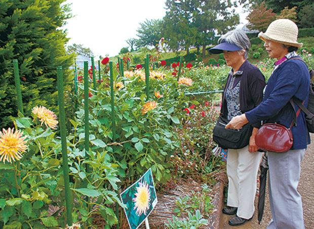 500品種、4000株の「町田ダリア園」いよいよ開園。6月30日には式典も