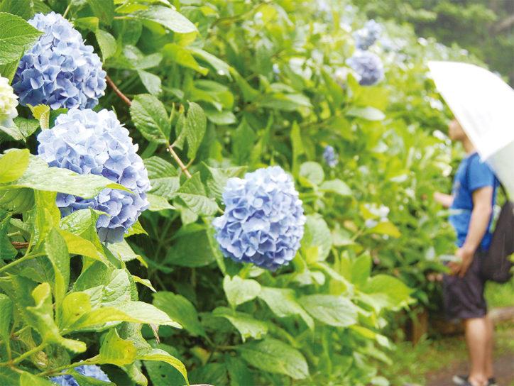 俣野別邸庭園で「あじさい祭り」7種740株が開花