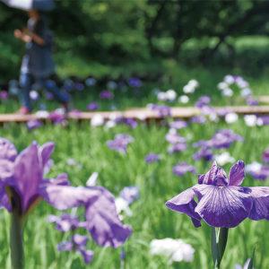 県立四季の森公園 ハナショウブの花が咲き誇る【横浜市緑区】