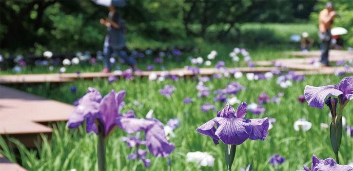 県立四季の森公園でショウブ、6月中旬ころまで【横浜市緑区】