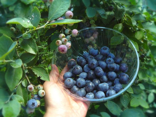 中井町でブルーベリーと夏野菜の収穫体験【参加者募集中】