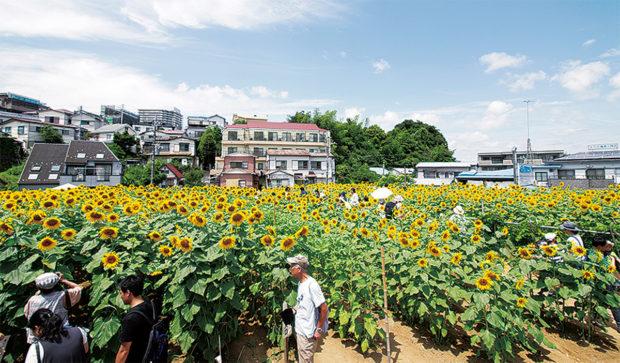 ひまわり畑に3万本、まもなく満開 横浜・上大岡で7月29日まで一般開放