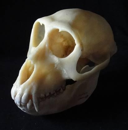 【小学生向け】夏休みに研究しよう!サルとタヌキの骨@麻布大学いのちの博物館(淵野辺)