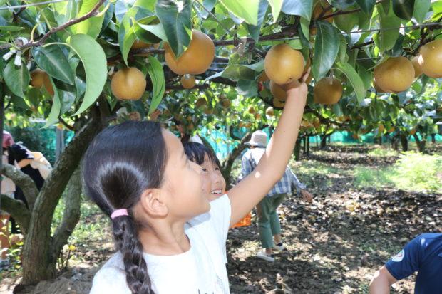 厚木で梨&ぶどう狩り!都心から1時間の神奈川名産地で家族ともぎとり体験【8月中旬~9月上旬】