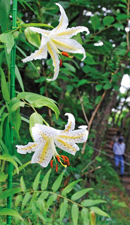 県内でも珍しいヤマユリ群生地「友情の山」で一般公開