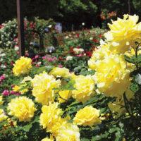 【バラの名所】綾瀬・光綾公園に28種類900本咲く 2018年冬の見頃は11月中旬
