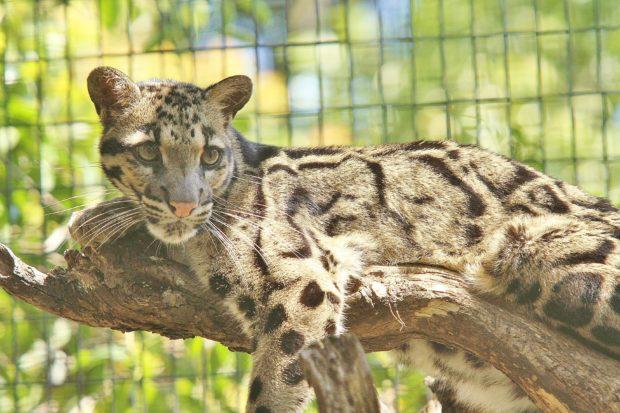 ネコ好き集まれ!初開催「ネコフェス!」ネコ科8種@よこはま動物園ズーラシア
