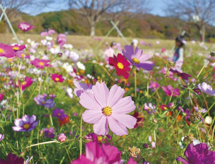 コスモス摘み取りイベント@大庭・引地川親水公園近く