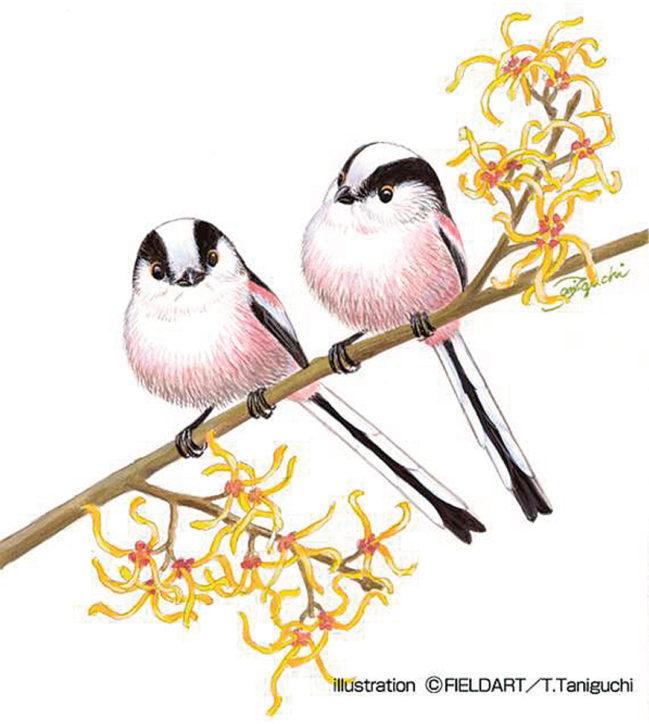 野鳥図鑑画家・谷口高司の野鳥絵教室「冬の野鳥とエナガを描いてみよう!」